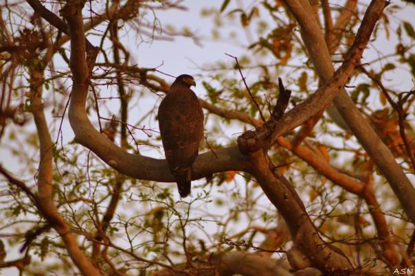 Serpent Eagle: Pic by Amit Nikam